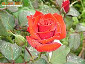 Rosa con gotas de lluvia