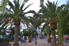 El Ayuntamiento aplica el tratamiento a palmeras contra el picudo rojo