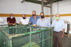 Comienza el verdeo de la aceituna en Álora